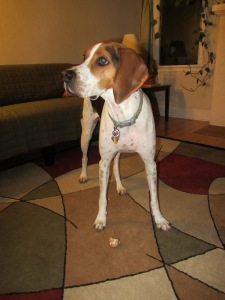 Apparently, there actually is something a Coonhound will not eat.